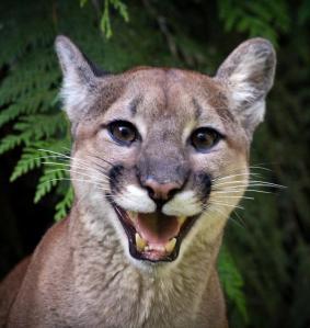 cougar-smile-athena-mckinzie
